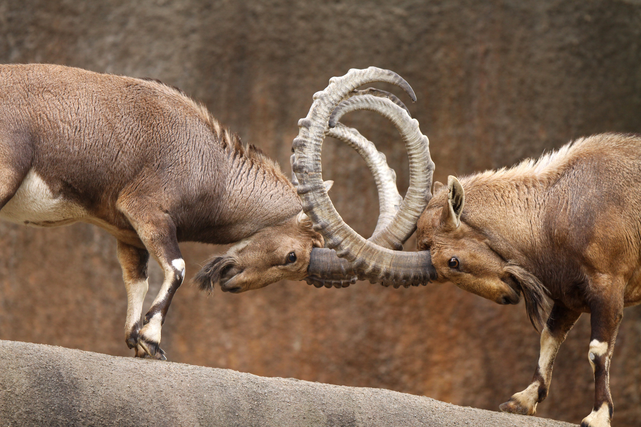 Two male wild goats play-fight on the edge of a rock cliff.